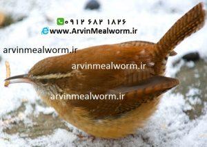 Arvin Mealworm سایت فروش میل ورم ( www.arvinmealworm.ir) : فروش میل ورم عمده و جزئی
