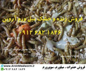 Arvin Mealworm سایت فروش میل ورم ( www.arvinmealworm.ir) : پرورش و فروش میلورم | فروش میل ورم زنده 250 گرمی | فروش میل ورم زنده 250 گرمی
