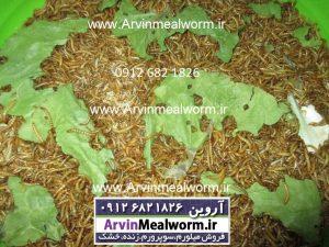 Arvin Mealworm سایت فروش میل ورم ( www.arvinmealworm.ir) : کرم میل ورم | فروش کرم میل ورم و سوپرورم بصورت زنده و خشک شده | فروش میل ورم عمده و جزئی کرم میل ورم فروش کرم میل ورم غذایی مقوی برای ماکیان و پرنده های قفسی مخصوصا جوجه های کم غذا تولیدی مزرعه آروین