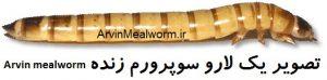 Arvin Mealworm | سایت فروش میل ورم | www.arvinmealworm.ir | غذای خشک سوپرورم وزن 60 گرم |   غذای خشک سوپرورم وزن 60 گرم  | سوپرورم خشک 60 گرمی | سوپرورم زنده 60 گرمی | فروش سوپرورم | پرورش سوپرورم | سوپر ورم | سوپر ورم زنده | سوپر ورم خشک | آروین سوپرورم | سوپرورم آروین